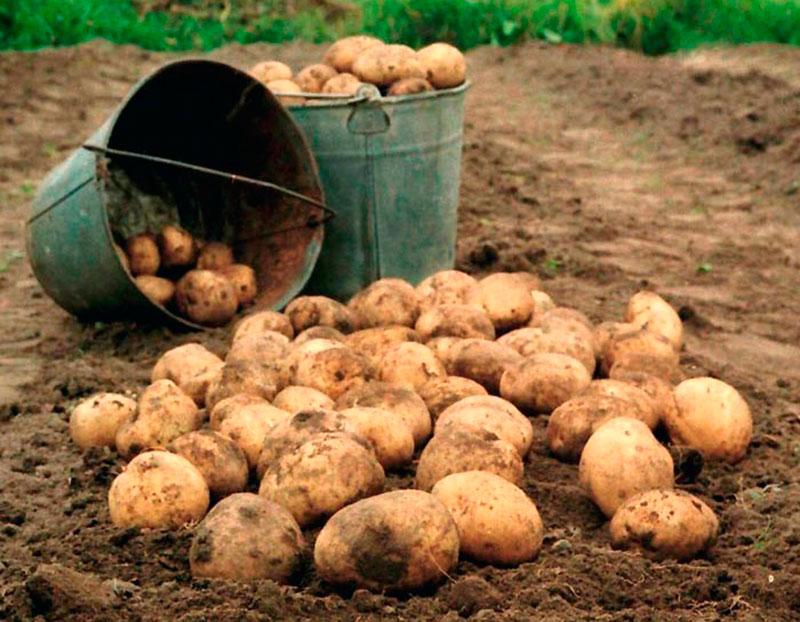 Сонник картошка, толкование снов. К чему снится 64